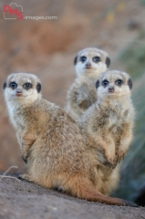 Close-up of three little meerkat or suricate (Suricata suricatta) babies making male in sand