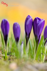 Blossoms of a colourful domestic crocus (Crocus vernus)