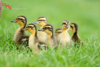 Wild Duck (Anas platyrhynchos) chicks on a meadow