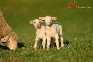 Close-up of two house-sheep (Ovis orientalis aries) lambs on a meadow in spring